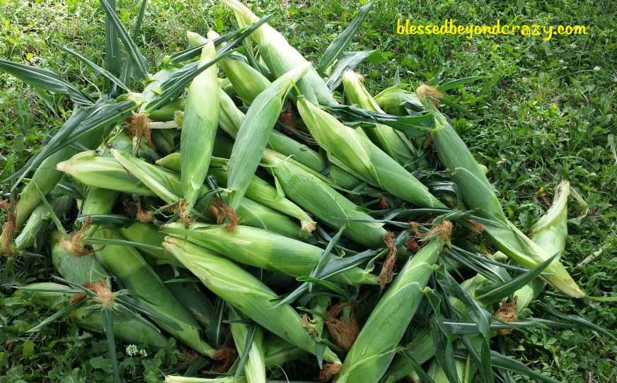 Pile of fresh ears of fresh sweet corn.
