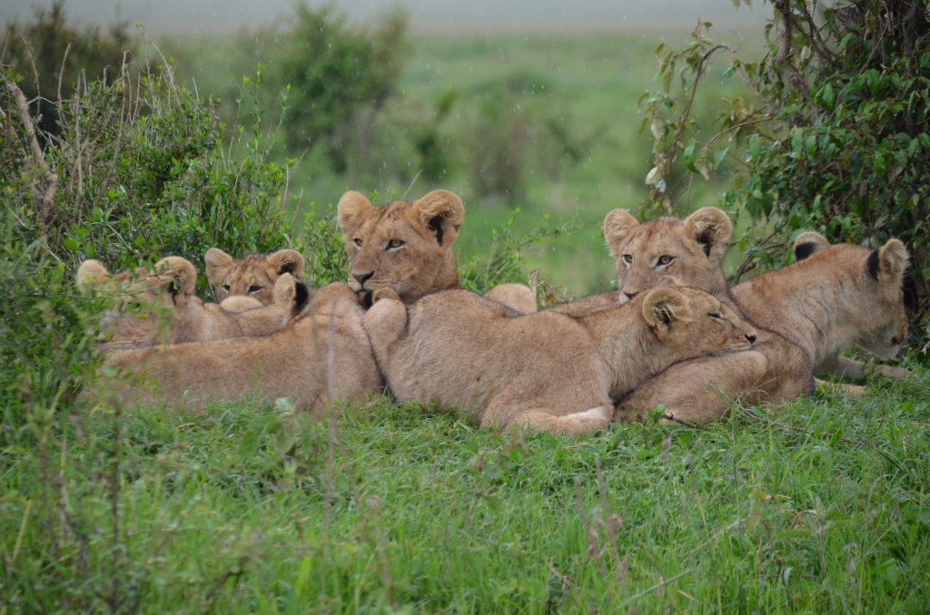 A group of lion cubs within a pride.