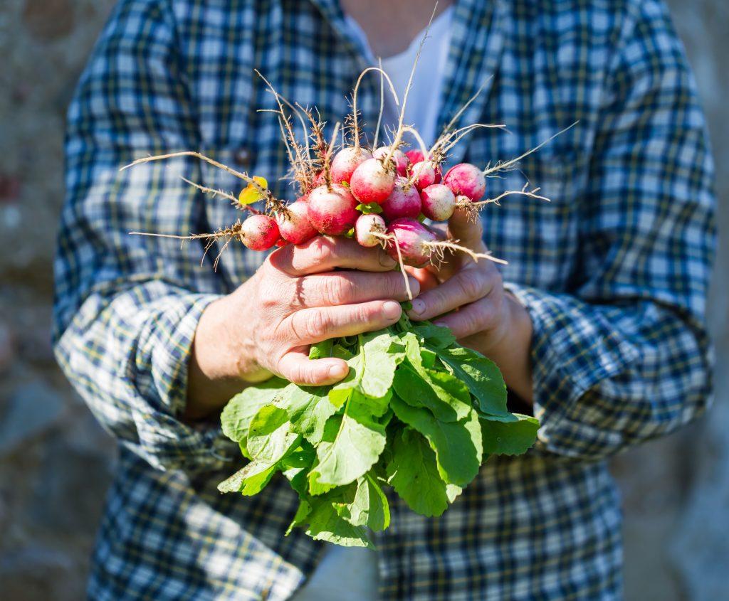 Gardener with fresh radishes